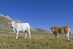 Calves on the Campo Imperatore Stock Images