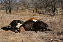 Calves and cows dying during birthing process. Beef cows and calves dying during the birthing process royalty free stock photo