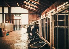 Calves in the cowshed on a dairy farm stock photo