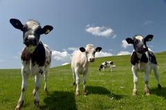 Calves in Dorset. Calves near Abbotsbury in Dorset royalty free stock photography