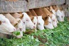 Calves eating green rich fodder Stock Image