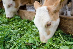Calves eating green rich fodder Royalty Free Stock Image