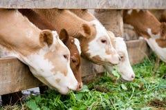 Calves eating green rich fodder Stock Photo