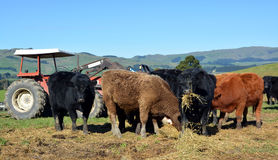Calves Eating Lucerne Hay on New Zealand Farm Stock Photo