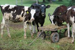 Calves eating from wagon