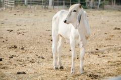 Calves on the farm Stock Photography