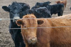 Calves in the feedlot getting ready to go to market royalty free stock image