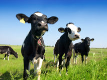 Calves on the field. And blue sky Royalty Free Stock Photo
