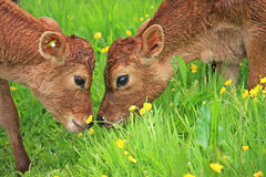 Calves in a field Royalty Free Stock Image