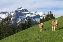 Calves in front of the Oldenhorn Stock Photography