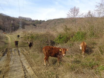 Calves graze on country road near spring forest. Herd of cows on country road, spring nature around Royalty Free Stock Photography