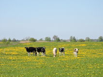 Calves graze in the meadow. Animals graze in the meadow, Lithuania Stock Image