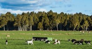 Calves Herd Stock Photography
