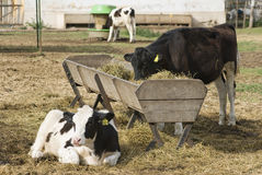 Calves Holando-Argentino and Feeding Trough Stock Photo