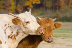 Calves and kisses. Calf licking its buddy on the face Stock Images