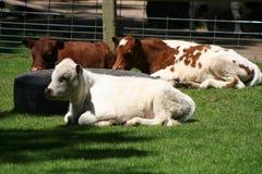 Calves. 3 calves lying down Stock Photography