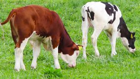 Calves in the meadow stock footage