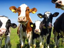 Calves On The Field Stock Photography