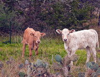Calves in pasture Stock Photos