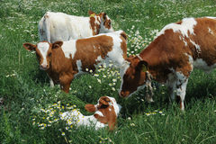 Calves in pasture Stock Images