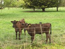 Calves in pen. Two young calves standing next to metal fence in green field on sunny day Royalty Free Stock Photography
