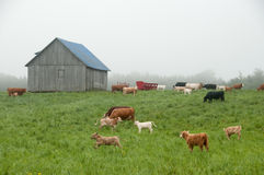 Calves play on a misty farm. Calves run in a pasture near a barn with foggy background in the gaspe peninsula of quebec Stock Image
