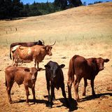 Calves posing on the ranch Stock Photography