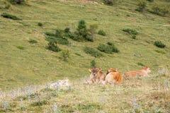 Calves resting Stock Photos