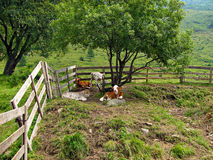 Calves Resting Under a Tree - Alps Royalty Free Stock Photos