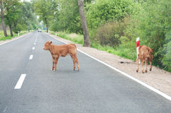 Calves on the road Stock Image