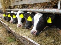 Calves in row Royalty Free Stock Photos