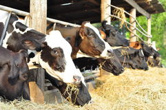 Calves in row. Royalty Free Stock Photography