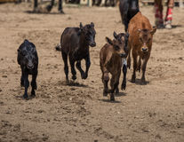 Calves royalty free stock photography
