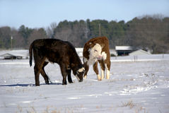 Calves in the snow Stock Images