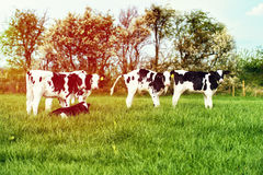 Calves In Spring Field Stock Photography