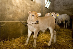 Calves in the stable. Closeup  of a dairy calf in the stable Royalty Free Stock Photos