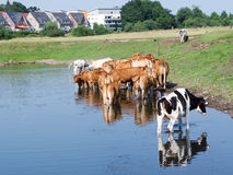 Calves Standing in Water Stock Image