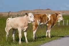 Calves Stock Photography