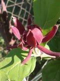 Calycanthus floridus fotografia stock