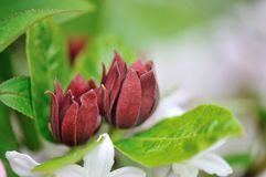 Calycanthus floridus Royalty Free Stock Photography
