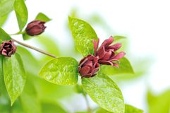 Calycanthus floridus Stock Photography