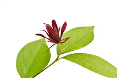 Calycanthus floridus Royalty Free Stock Images