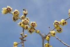 Calycanthus praecox με την κίτρινη επάνθιση Στοκ φωτογραφίες με δικαίωμα ελεύθερης χρήσης