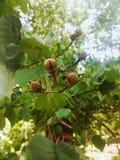 Calyculata del Lagerstroemia Imagenes de archivo