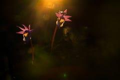 Calypso bulbosa, beautiful pink orchid, Finland. Flowering European terrestrial wild orchid, nature habitat, detail of bloom, Euro Stock Image