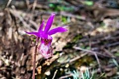 Calypso Orchid selvaggia, conosciuta come l'orchidea di Fairyslipper, fiorente nelle foreste di Marin County, area di San Francis fotografie stock
