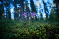 Calypsobulbosa, härlig rosa orkidé, Finland Europeisk jordisk lös orkidé för blomning, naturlivsmiljö, detalj av blom, gree Royaltyfri Bild