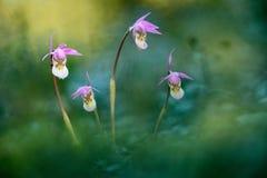 Calypsobulbosa, mooie roze orchidee, Finland Bloeiende Europese aardse wilde orchidee, aardhabitat, detail van bloei, gree stock afbeelding
