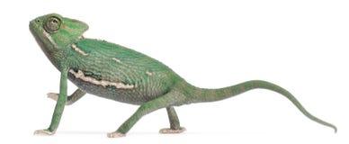 calyptratus chamaeleo变色蜥蜴被遮掩的年轻人 免版税库存照片