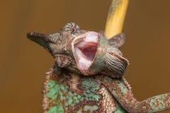 Calyptratus Chamaeleo Стоковая Фотография RF